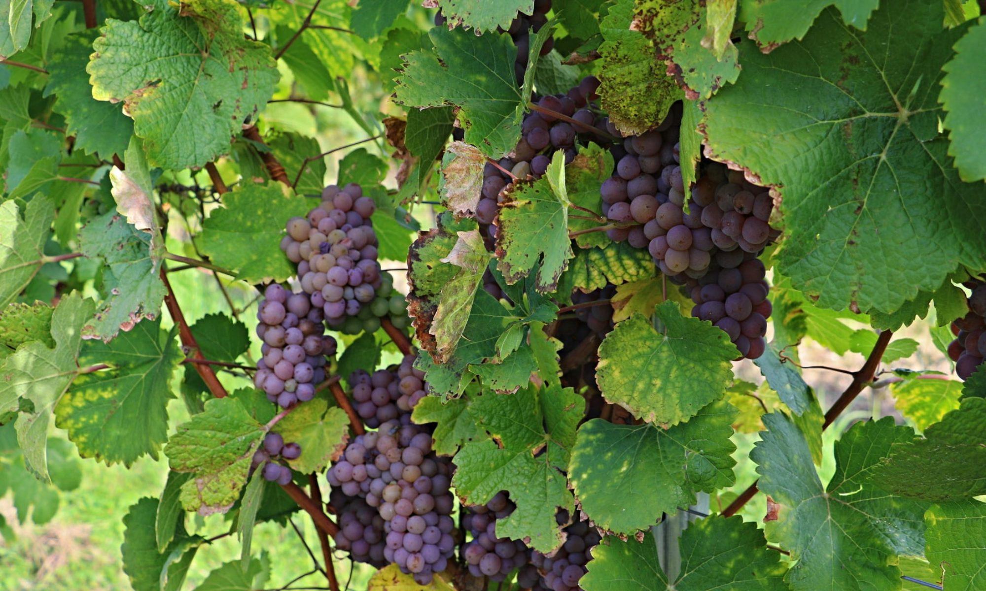 Vinařství Válkovi | Mělník